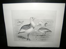 Frohawk 1898 Antique Bird Print. Great Bustard